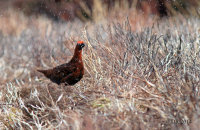 (ix) Male Red Grouse in the hailstorm