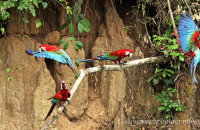 Red-and-green Macaws (Ara chloropterus) at the Manu clay lick