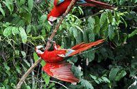 Red-and-green Macaws (Ara chloropterus)