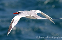 Red-billed Tropicbird (Phaethon aetherus)