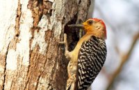 Red-crowned Woodpecker (Melanerpes rubricapillus)