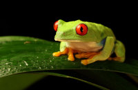 (i) 'Ellie' - Red-eyed Green Tree Frog (Agalychnis callidryas)