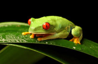 (ii) Red-eyed Green Tree Frog (Agalychnis callidryas)