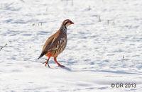 Red-legged Partridge in Winter