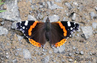 (3) Red Admiral drinking from a Wyre Forest track