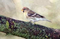 (1) Lesser Redpoll