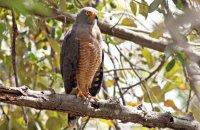 Roadside Hawk ((Buteo magnirostris)