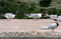 Roseate Terns (Sterna dougallii)