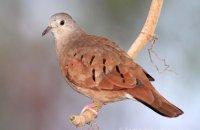 Ruddy Ground-Dove (Columbina taipacoti)