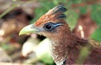 Rufous-vented Ground-Cuckoo (Neomorphus geoffreyi)