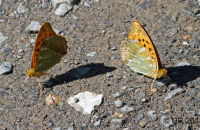 (1) A number of other butterflies were attracted to the moisture on the track, such as these Silver-washed Fritillaries