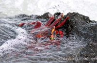 Sally Lightfoot Crab hanging on in the tide  (Grapsus grapsus)