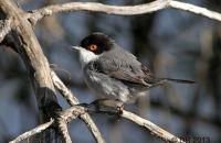 (1) Sardinian Warbler
