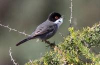 (2) Sardinian Warbler singing