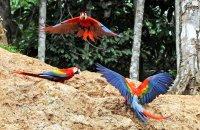 Scarlet Macaws at clay lick  (Ara macao)