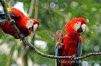 Scarlet Macaws (Ara macao)