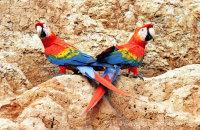 Scarlet Macaws posing (Ara macao)