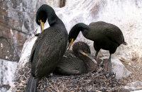 Shag family on their nest (Phalacrocorax aristotelis)