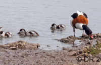 Shelduck with a large brood
