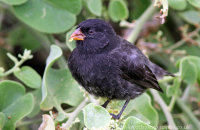 Small Ground Finch (Geospiza fuliginosa)