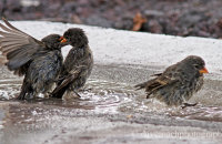 Small Ground Finches bathing  (Geospiza fuliginosa)