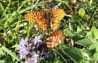 (2) The females move down into the grass and flutter their wings
