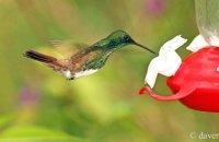 Snowy-bellied Hummingbird (Amazilia edward) at Hummingbird feeder