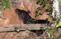 South American Tapir eating clay  (Tapirus terrestris)