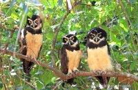 Spectacled Owls (Pulsatrix perspicillata)