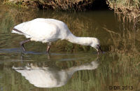 (2)  European Spoonbill feeding