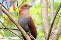 Squirrel Cuckoo (Piaya cayana)
