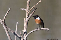 (1) Male Stonechat