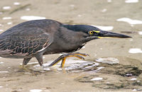 Striated Heron fishing  (Butorides striatus)