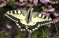 (3) Swallowtail