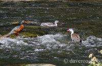 Torrent Duck family (Merganetta armata)