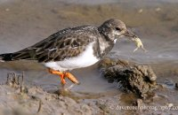 Turnstone catching small crabs 4 (Arenaria interpres)