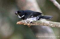 Variable Seedeater (Sporophila americana) male