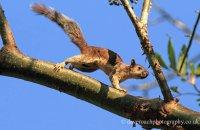 Variegated Squirrel (Sciurus variegatoides)