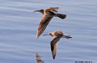 Whimbrel and Bar-tailed Godwit