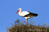 White Stork (Ciconia ciconia) nesting
