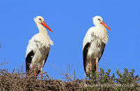 White Storks (Ciconia ciconia) nesting
