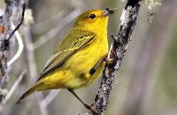 Yellow Warbler catching ants  (Dendroica petechia aureola)
