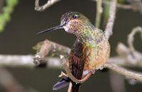 Young Chestnut-breasted Coronet (Boissonneaua mathewsii) covered in pollen
