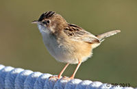 (1) Zitting Cisticola (Fan-tailed Warbler)