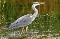 (1) Images of Grey Herons at Brandon Marsh and Slimbridge
