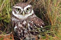 (i) Little Owl (Athene noctua)