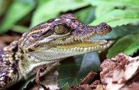 Baby American Alligator (Alligator mississippiensis)