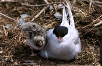 Arctic Tern with nestling on Inner Farne (Sterna paradisaea)