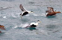 Eiders taking off