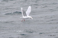 (3) Adult Glaucous with Herring